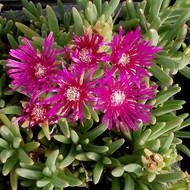 Delosperma cooperi 'Trailing Ice Plant' (Ice Plant)