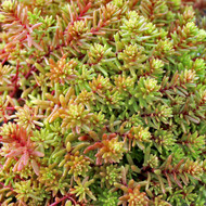 Sedum japonicum var. senanense - September Colors