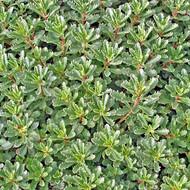 Sedum middendorfianum