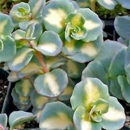 Sedum sieboldii f. variegatum