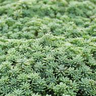 Sedum pallidum var. bithynicum - Spring / Summer