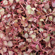 Sedum spurium 'Elizabeth' - Sedum Red Carpet - Summer