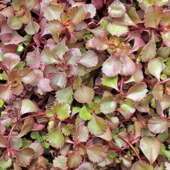 Sedum spurium 'Ruby Mantle' - Summer