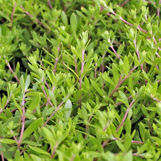 Sedum sarmentosum - Gold Moss