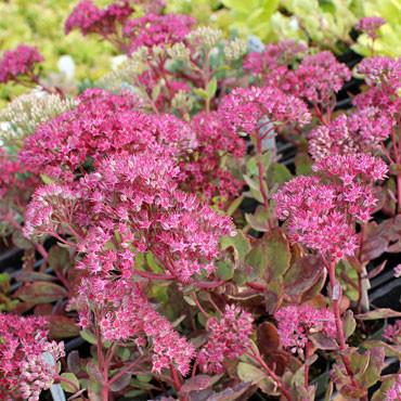 Sedum cauticola 'Ruby Glow' - Showy Stonecrop - Blooms