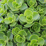 Sedum spurium 'Dr. John Creech'