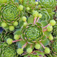 Sempervivum 'Kindergeri'