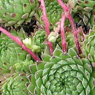 Sempervivum thompsonianum