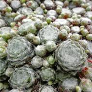 Sempervivum arachnoideum subsp. tomentosum