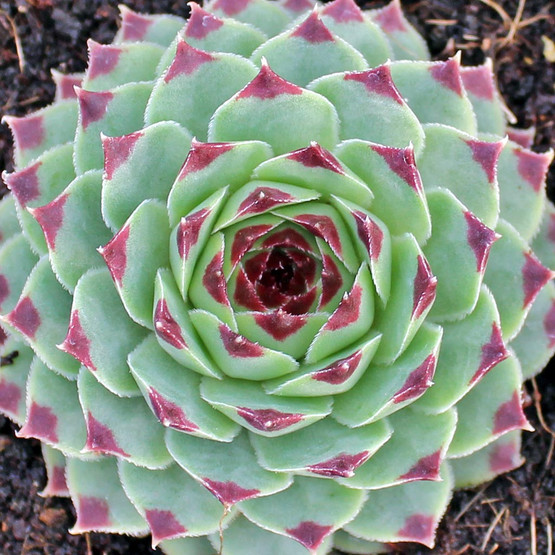 Sempervivum calcareum - winter
