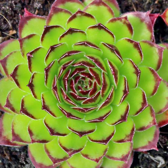 Sempervivum marmoreum f/ Kanzan Gorge