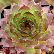 Sempervivum tectorum 'Sunset' - January Color