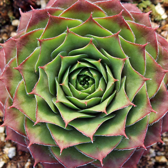Sempervivum 'Jewel Case' - October Colors