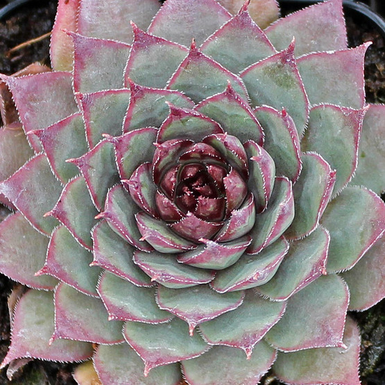 Sempervivum tectorum 'Trist' - What You Receive