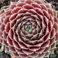 Sempervivum 'Montage' - February