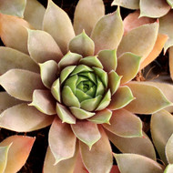Sempervivum 'Purple Passion' - September Colors