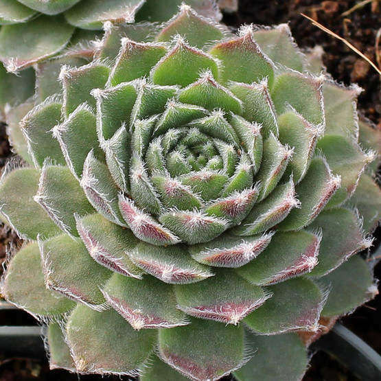 Sempervivum 'Raspberry Ice'