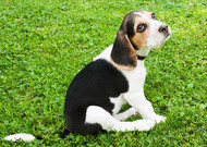5 Reasons Why the Beagle is The Most Frustrating and Hardest Dog to Train