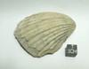 Fossil Bulk Lot, One Kilo Brachiopods, Crinoids, Gastropods, More.
