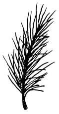 Pine Branch Medium- 199F09