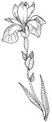 Blue Flag Lily - 115F05