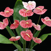 12 Speckled Anthuriums