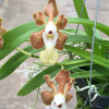 V. denisoniana hybrid (Open Blooms)