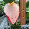 """Speckled Pigtail Anthurium Plant (4"""" Pot)"""