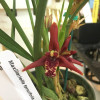 Maxillaria tenuifolia (First Bloom)