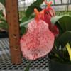 """Speckled Pigtail Anthurium Plant (5"""" Pot)"""