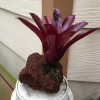 Single Red Bromeliad on Rock (Neo. Fireball)