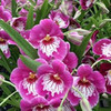 Open Bloom Orchids (Assorted)
