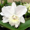 Rlc. Hawaiian Wedding Song 'Virgin' (Plant Only)