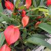 Anthurium Pigtail Plant