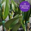 Assorted Mature BUDDED Cattleya (15 Plants)