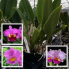 Lavendar Cattleya Hybrid (Plant Only)
