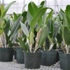 Cattleya Legacy Naming (AO-1765)