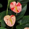 Shibori Anthurium Plant (Small)
