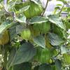 Poha Berry Plant