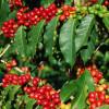 "Caturra Coffee Plant - 5"" Pot"