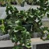 Epiphyllum 'Mini Dragon' (Orchid Cactus)