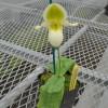 Paphiopedilum Pinocchio hybrid