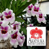 "Any 4"" Pot Miltonia Variety - GROWER'S CHOICE"