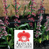"Any 4"" Pot Oncidium Variety - GROWER'S CHOICE"