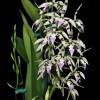 Epi. prismatocarpum