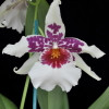 Bllra. Big Shot 'Hilo Sparkle'