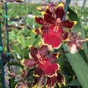 Odcdm. Wildcat 'Golden Red Star'