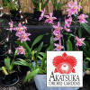 "Any 4"" Pot Odontoglossum Variety-GROWER'S CHOICE"