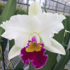 Rlc. Volcano Star 'Volcano Queen' x Rlc. Hawaiian Wish 'Volcano Queen'