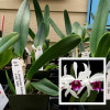 """L. purpurata 'Adams' x sib. 'alba' (Starter-3"""" Pot)"""